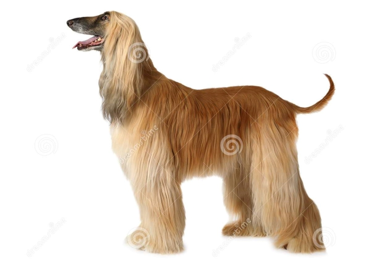 afghan-hound-dog-thoroughbred-standing-show-position-isolated-white-background-85041579.jpg