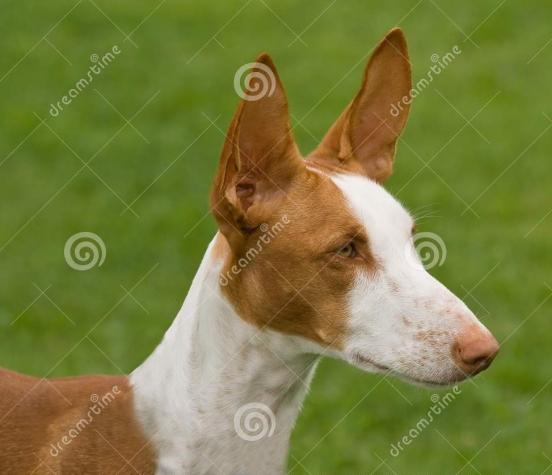 ibizan-hound-head-6444745.jpg