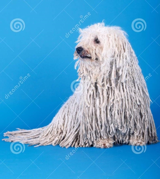 puli-dog-23148954.jpg